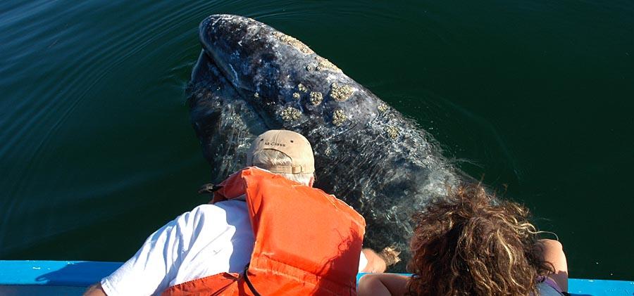 Wale Streicheln bei den Walbeobachtungen